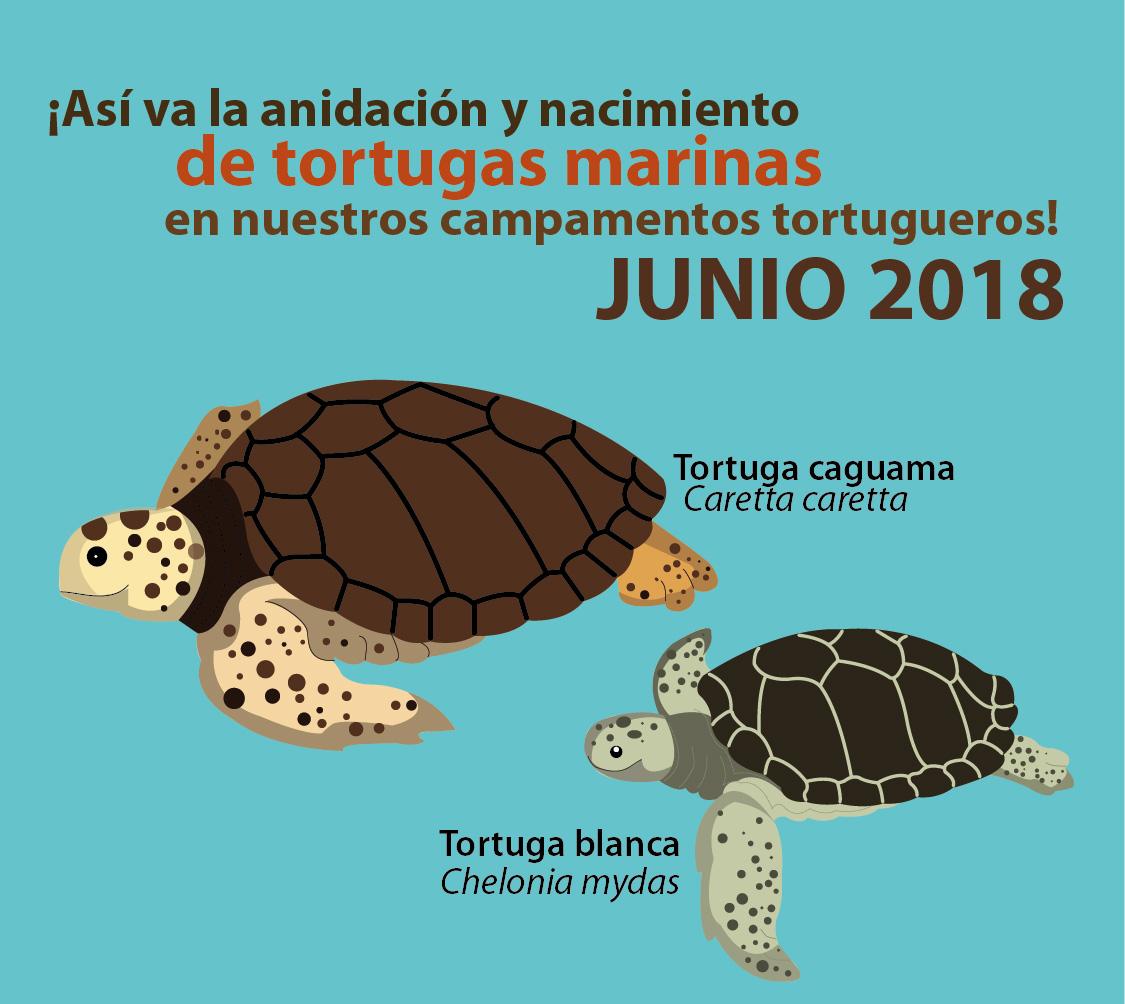 Primeras tortugas nacidas en junio 2018