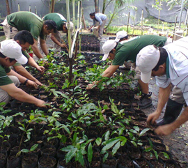 Producción de mangle